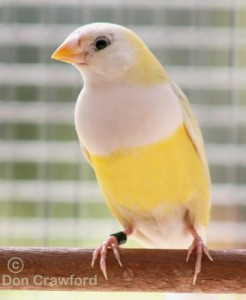 Australian Yellow Gouldian