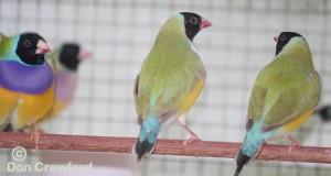 Lime Gouldians