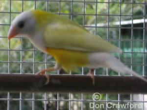 Australian Yellow Cock