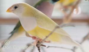 Australian Yellow Gouldian Finch