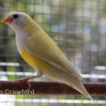 Aust Yellow adult