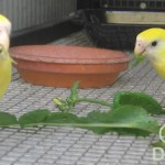 pair yellow hoodeds