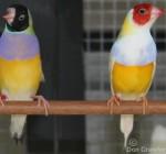 Australian Yellow Gouldians