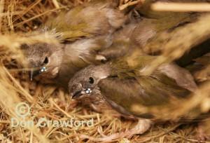 Lime Gouldian Babies