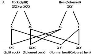 Gouldian Genetics