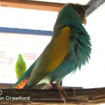 Hooded parrot cock showing off