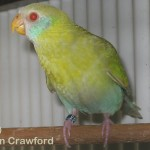 Hooded parrot hen