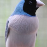 White fronted Blue Gouldian