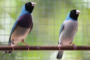 Blue Gouldians
