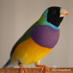 Normal Gouldian Cock