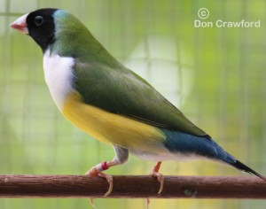 Normal White fronted Gouldian Hen
