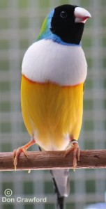 Normal White Fronted Gouldian Cock