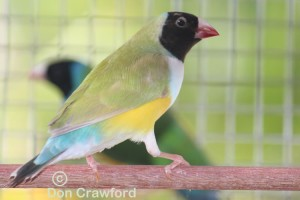 White Fronted Lime hen