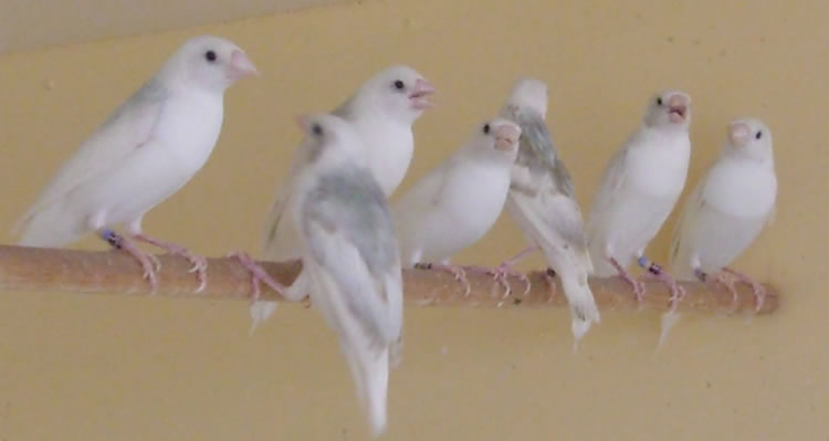 Young birds showing the variation in the back